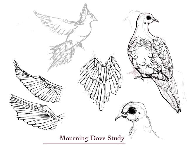 Mourning Dove bird study